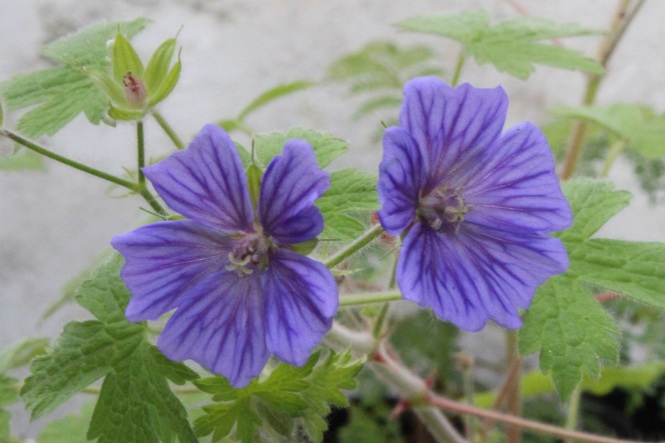 Geranium 'Blue Orchid'