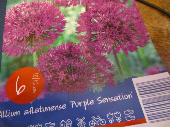 Allium aflatuense 'Purple Sensation'