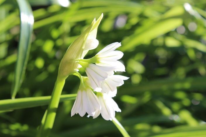 Allium triquetral