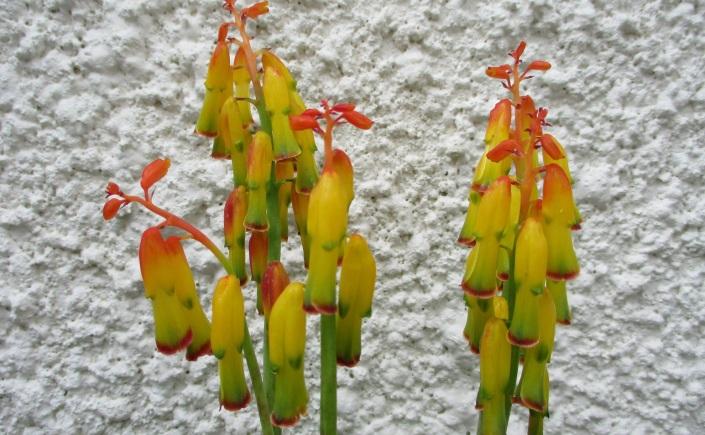 Lachenalia quadricolor
